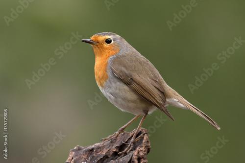 European robin. Erithacus rubecula Canvas Print