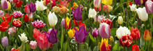 Colorful Tulips Background.