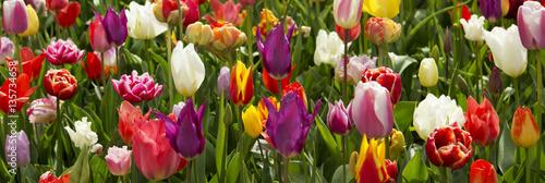Fényképezés  Colorful tulips background.