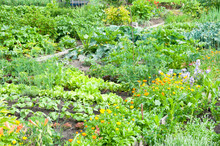 Marigold And Different Vegetables On A Vegetable Garden Ground