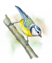 Grassland Birds, Blue Tit
