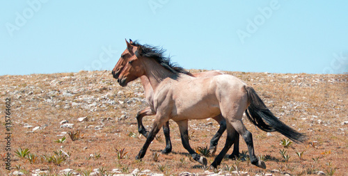 Fotografie, Obraz  Wild Horse herd of mustangs running in the Pryor Mountains of Montana USA
