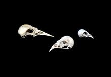 Skulls Of Winter Killed Birds