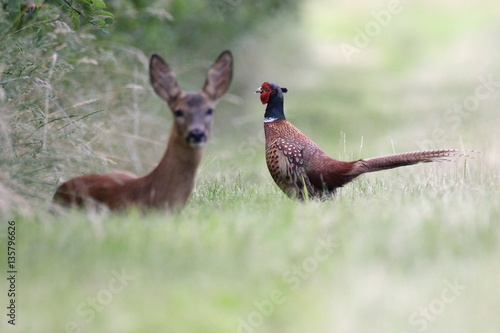 Valokuva  Pheasant and roe deer in the wild