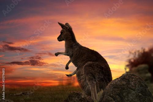 La pose en embrasure Kangaroo Sunset Kangaroo Australia