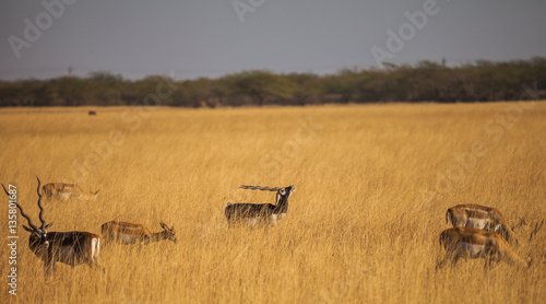 Door stickers Antelope blackbuck in wild