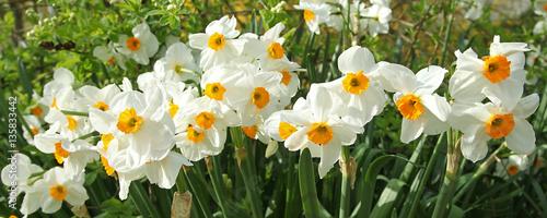 Poster de jardin Narcisse Narcisse multiflore 'Géranium'