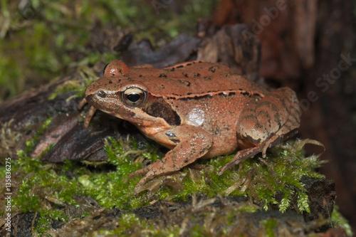 Tuinposter Kikker Female of Italian agile frog (Rana latastei) full of eggs, reaching the breeding site, Italy