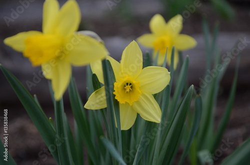 Papiers peints Narcisse Flower bed with yellow daffodil flowers blooming in the spring