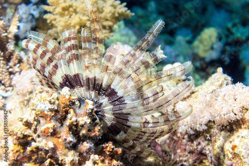 Fototapeta Lilia morska. Fauna czerwonego morza. Fotografia podwodna.