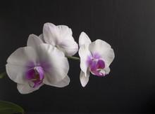White Orchid Phalaenopsis On Black Background