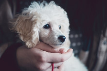 Close Up Indoor Shot Of Adorable White Dwarf Poodle Puppy. Low Light And Visible Noise.