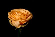 Softt Orange Rose On Black Background