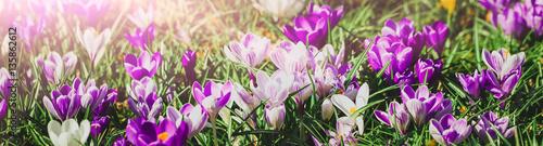 wiosna-czas-wielkanocny-krokusy-w-wiosennym-sloncu-baner