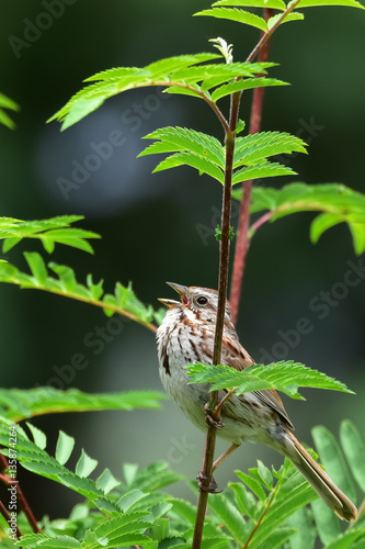 Song sparrow singing in the garden - Buy this stock photo and ...