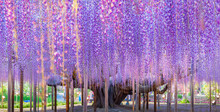 Beauty Rooted In The Large Wisteria Trellis , 150 Year Old Wisteria