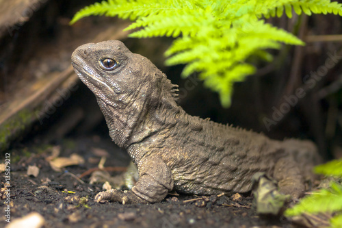Photo  Tuatara native new zealand reptile