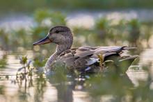 Male Gadwall Swimming In Wetla...