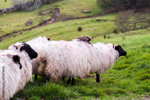 Fotografija  Outdoors view of Ireland contryside with Mayo blackface rams, County Mayo, Irela
