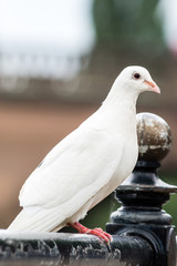 White pigeon on the railing G