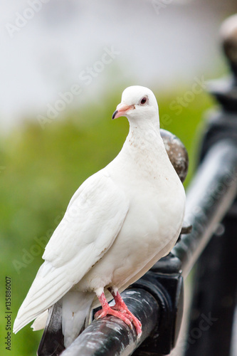 White pigeon on the railing A