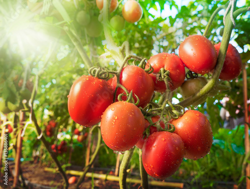 Fotografie, Obraz  Tomato fruit with water drop and sunlight