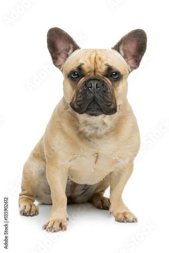 Foto op Plexiglas Franse bulldog Beautiful french bulldog dog