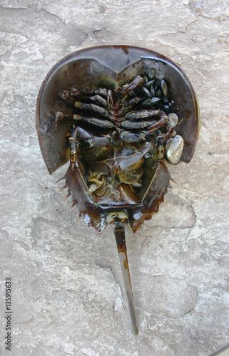 Photo  The Atlantic horseshoe crab, Limulus polyphemus