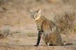 Leinwandbild Motiv An African wild cat (Felis silvestris lybica), Kalahari desert, South Africa.