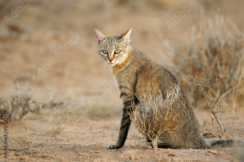 Photo  An African wild cat (Felis silvestris lybica), Kalahari desert, South Africa