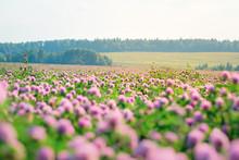 Wild Meadow Of Pink Clover Flo...
