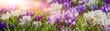 Leinwandbild Motiv Frühlingserwachen - lila blühende Krokusse in der Morgensonne, Banner