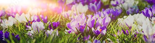 Frühlingserwachen - lila blühende Krokusse in der Morgensonne, Banner