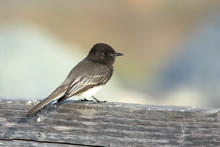Black Phoebe Perched On A Woo...