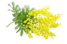 Wattle Flower Or Mimosa Branch...