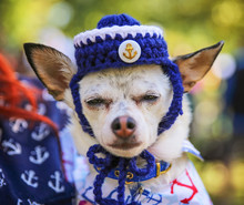 A Tiny Chihuahua With A Knitte...
