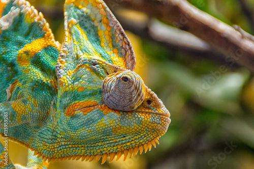 Staande foto Kameleon The colorful Chameleon sitting on a branch