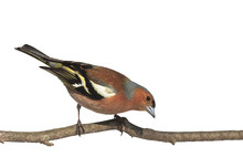Spring Bird Chaffinch On A Branch In The Park On A White Isolated Background