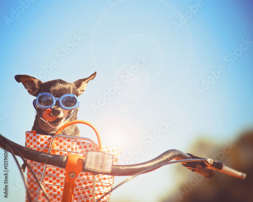 a cute chihuahua riding in a basket on a bicycle and wearing goggles