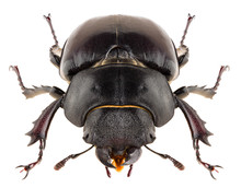 Stag Beetle Lucanus Cervus Female Isolated On White Background, Front View Of Beetle.
