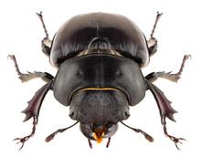 Stag Beetle Lucanus Cervus Fem...
