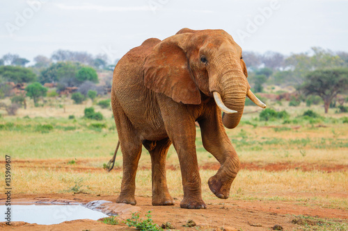 Foto op Aluminium Olifant Red Elephant in Tsavo East National Park. Kenya.