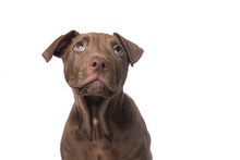 Cute Brown Pitbull Terrier Puppy Looking Up On A White Background