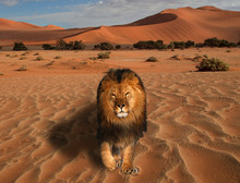 Lion Walking On The Desert At ...