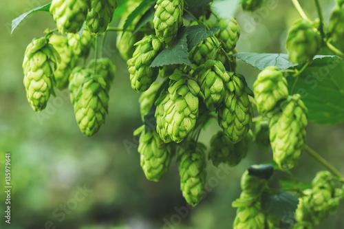 Green hop cones Canvas Print