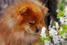 Pomeranian Spitz Sniffs Cherry Flowers