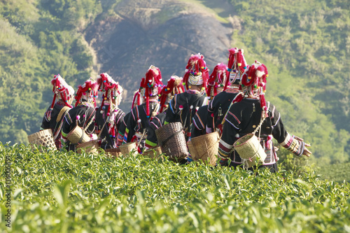 Fotomural tea leaf at plantation background is Akha hill tribe woman