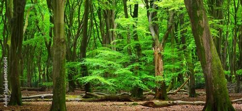Deurstickers Groene Spring beech tree forest in the Netherlands, Veluwe.