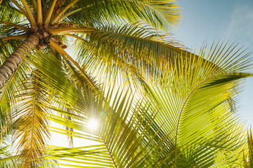 Panel Szklany Las Coconut palm tree leaves in sunlight