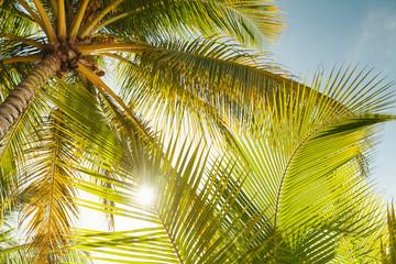 Fototapeta Las Coconut palm tree leaves in sunlight